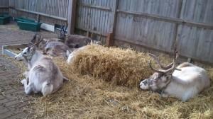 Live reindeers